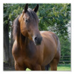 Bay Thoroughbred Horse Poster Print