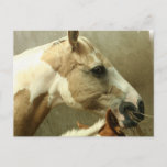 Gray Eventing Horse Postcard