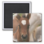 Horse Baby Square Magnet