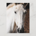 Lippizaner Horse Greeting Card