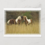 Paint Ponies in Field Postcard