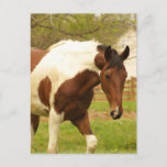 Roaming Paint Horse Postcard
