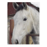 White Arabian Horse Pictures Postcard