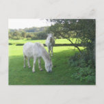 White Horses Grazing Postcard